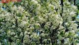 Esther Criswell's flowering tree #3609