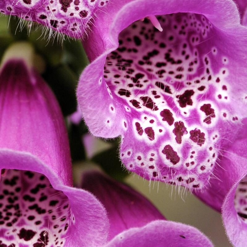 dig purpurea 2 detail