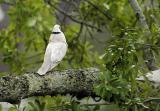 grey dove mating dance 1
