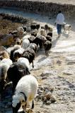 Sheep between Thilla and Hababa