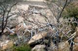 Thorn Tree, Yemen