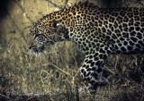 leopard-57.jpg