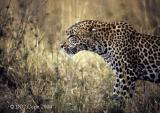 leopard-58.jpg
