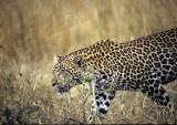 leopard-60.jpg