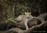 leopard-62.jpg
