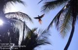 Scarlet Macaw 8