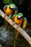 Blue and Gold Macaws 6