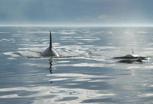 Orca 14