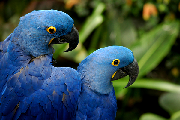 Blue Macaws 11