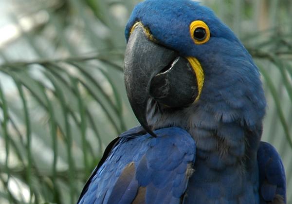 Blue Macaw 12
