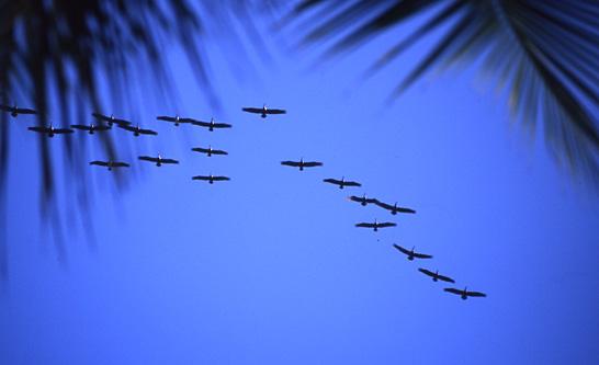 Pelicans 16