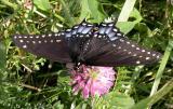 Black Swallowtail - Papilio polyxenes asterius