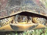 Blandings Coxvale -- female -- head shot