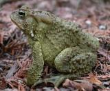 Marlborough Toad - 2