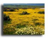 Carrizo Plain - Spring Wildflowers
