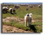 Sheep Dog and Flock on the Carrizo Plain