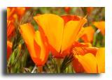 Poppies - Carrizo Plain
