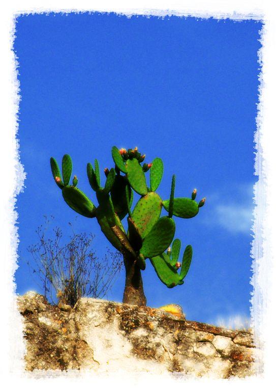 Altafulla - Cactus on the wall