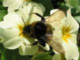 Bumble Bee on White Primula