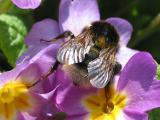 Bumble Bee on Blue Primula