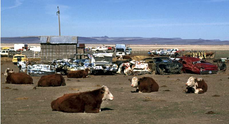 junkyard cows