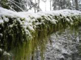 East Tiger Moss & Snow