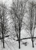 Pear Trees - Winter