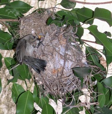 Sunbird mother feeding