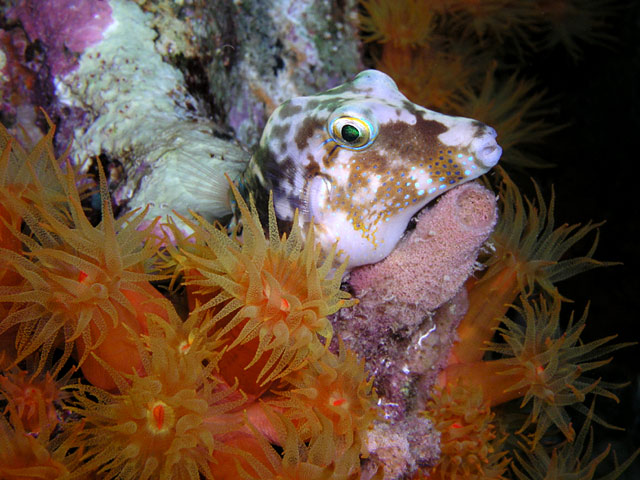 sharpnose puffer surrounded by orange cup coral