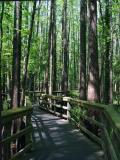 Boardwalk-Thru-Trees-wb.jpg