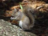 Squirrel-Nutkin-wb.jpg