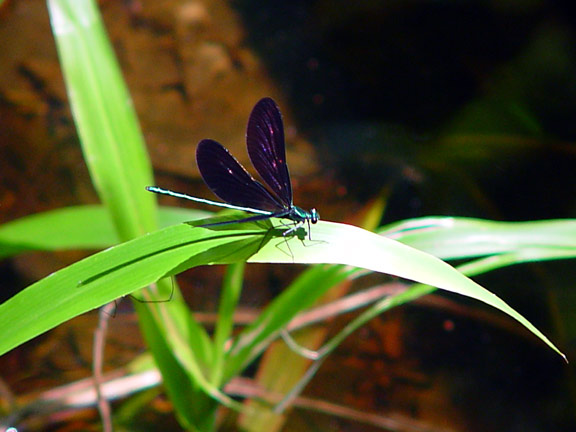 Dragonfly-on-Swamp-Grass-wb.jpg