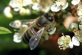 Apis Mellifera - Honeybee