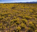 Big Bend Wildflowers 7026