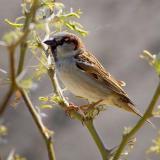 Sparrows of Texas