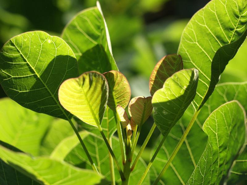 Cotinus coggyria