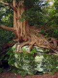 Wakehurst Place Yew