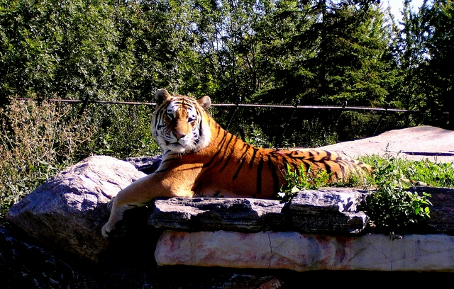 Siberian  Tiger  1.JPG