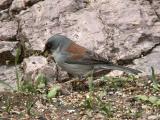 Yellow-eyed Junco  0205-2j  Madera Canyon, AZ
