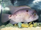 Herichthys argentea