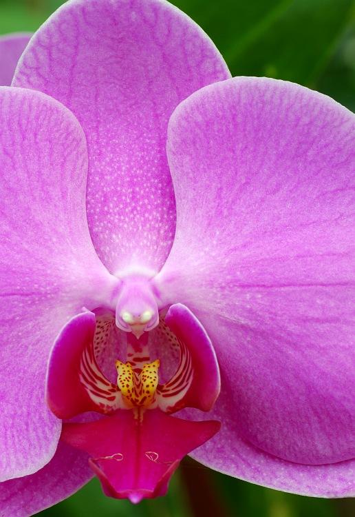 Purple Moth Orchid.jpg