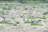 Bluebonnets In The Sand