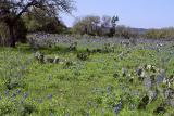 Field of Bluebonnets - HWY 1283