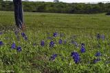Bluebonnets and Fence - Westhoff