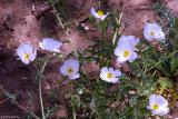 White Prickly Poppy - Willow City Loop