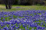 Bluebonnets - My Neighborhood
