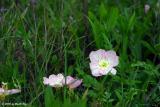 Primrose in the Grass