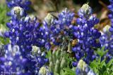Bee'ing A Bluebonnet