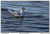 Mouette Bonaparte's Gull