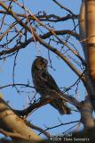 Long-ear Owl 5222